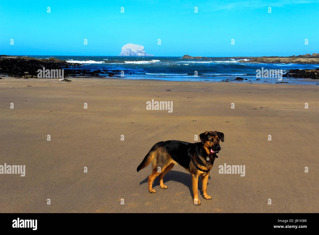 Dog on a beach, Bass Rock, taken from North Berwick, Scotland, UK Stock Photo