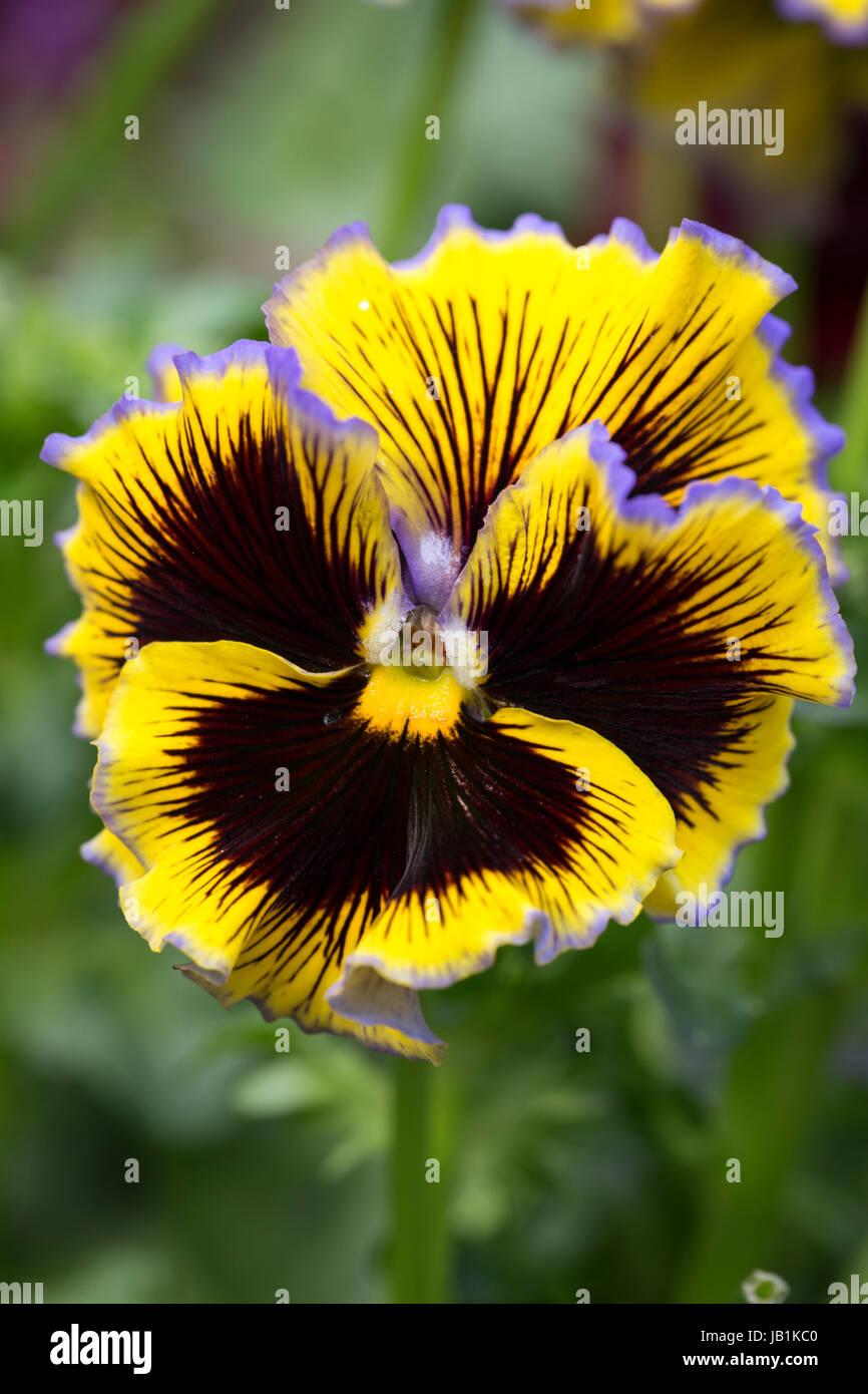 Winter flowering Pansy - Stock Image