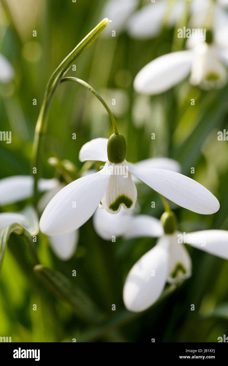 Galanthus 'Magnet' - Stock Image