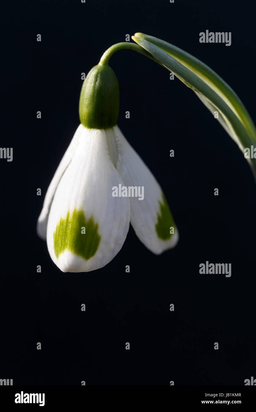Galanthus 'Trymming' - Stock Image