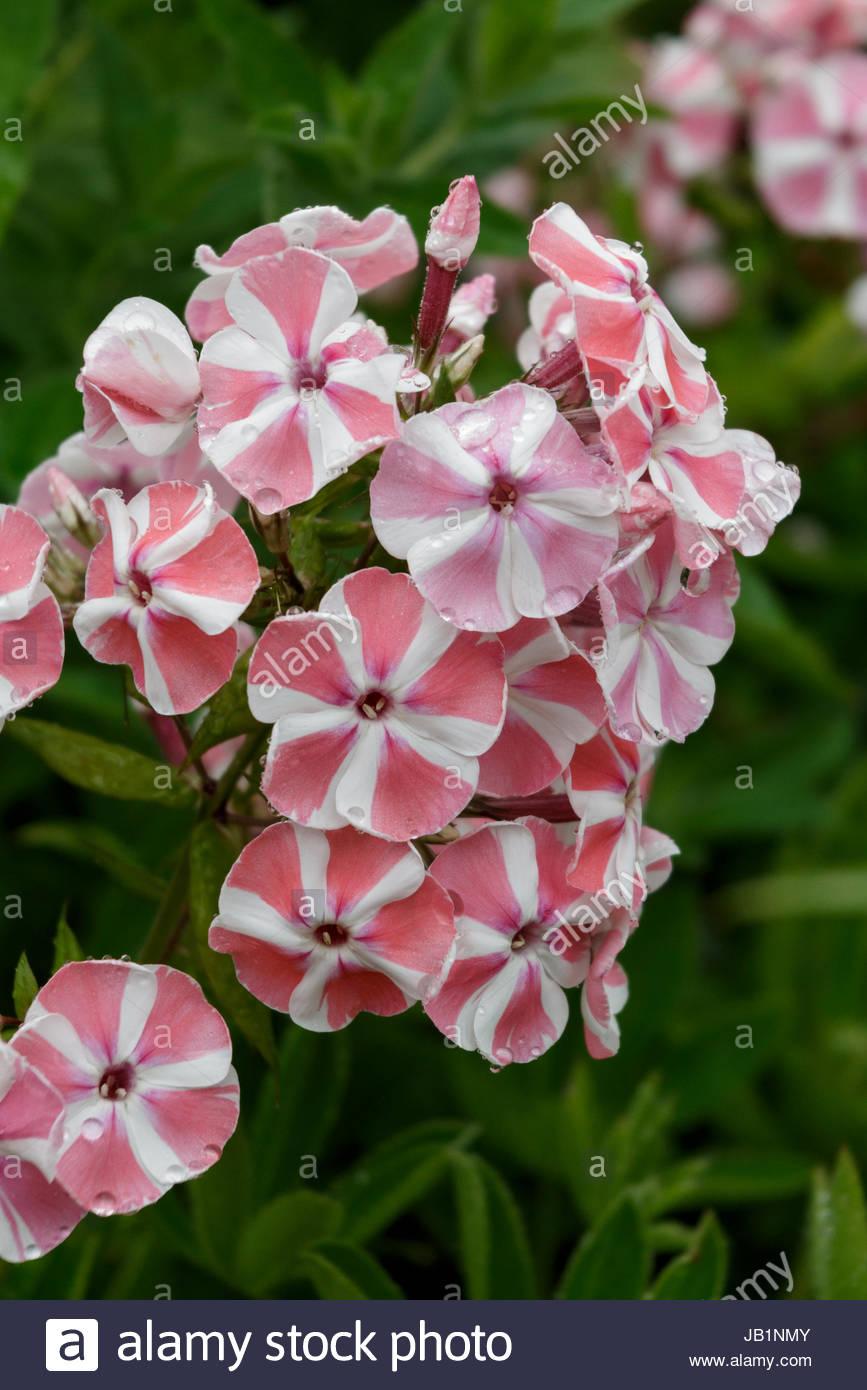 Phlox paniculata 'Peppermint Twist' - Stock Image