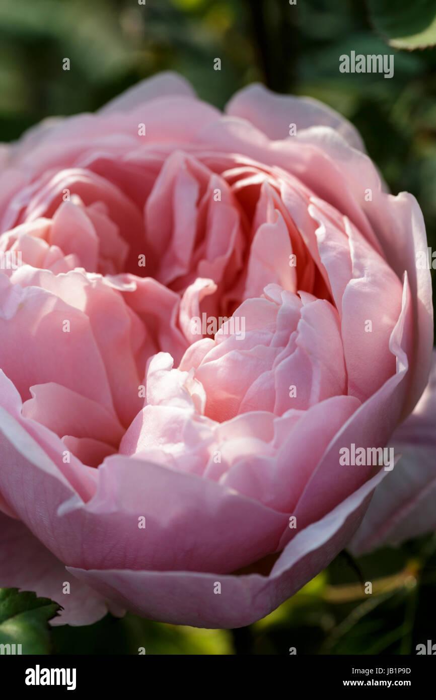 Rosa 'The Alnwick Rose' - Stock Image