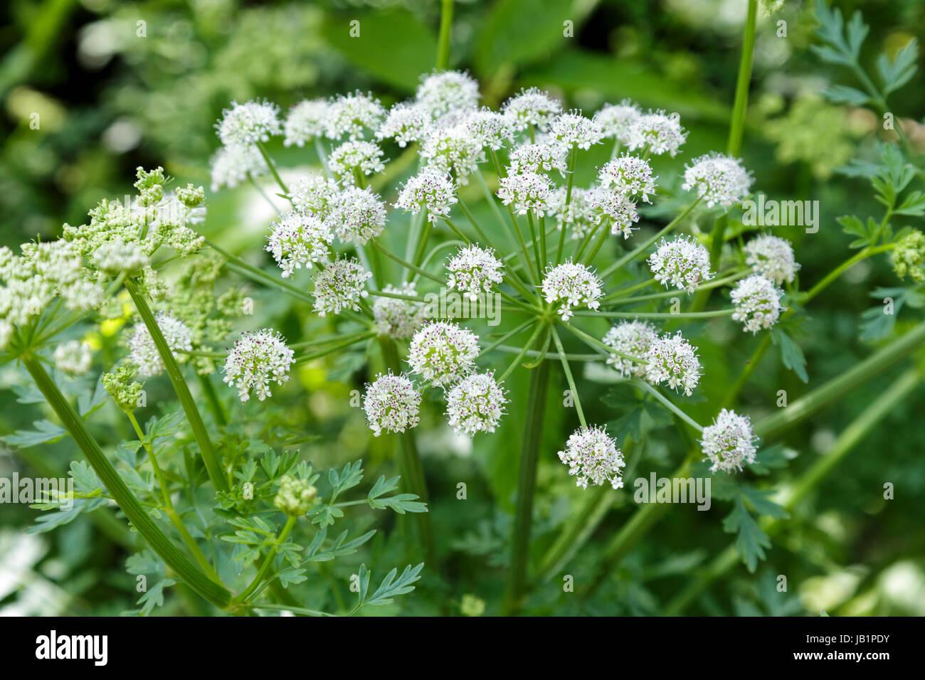 Hemlock Water Dropwort, Oenanthe crocata - Stock Image