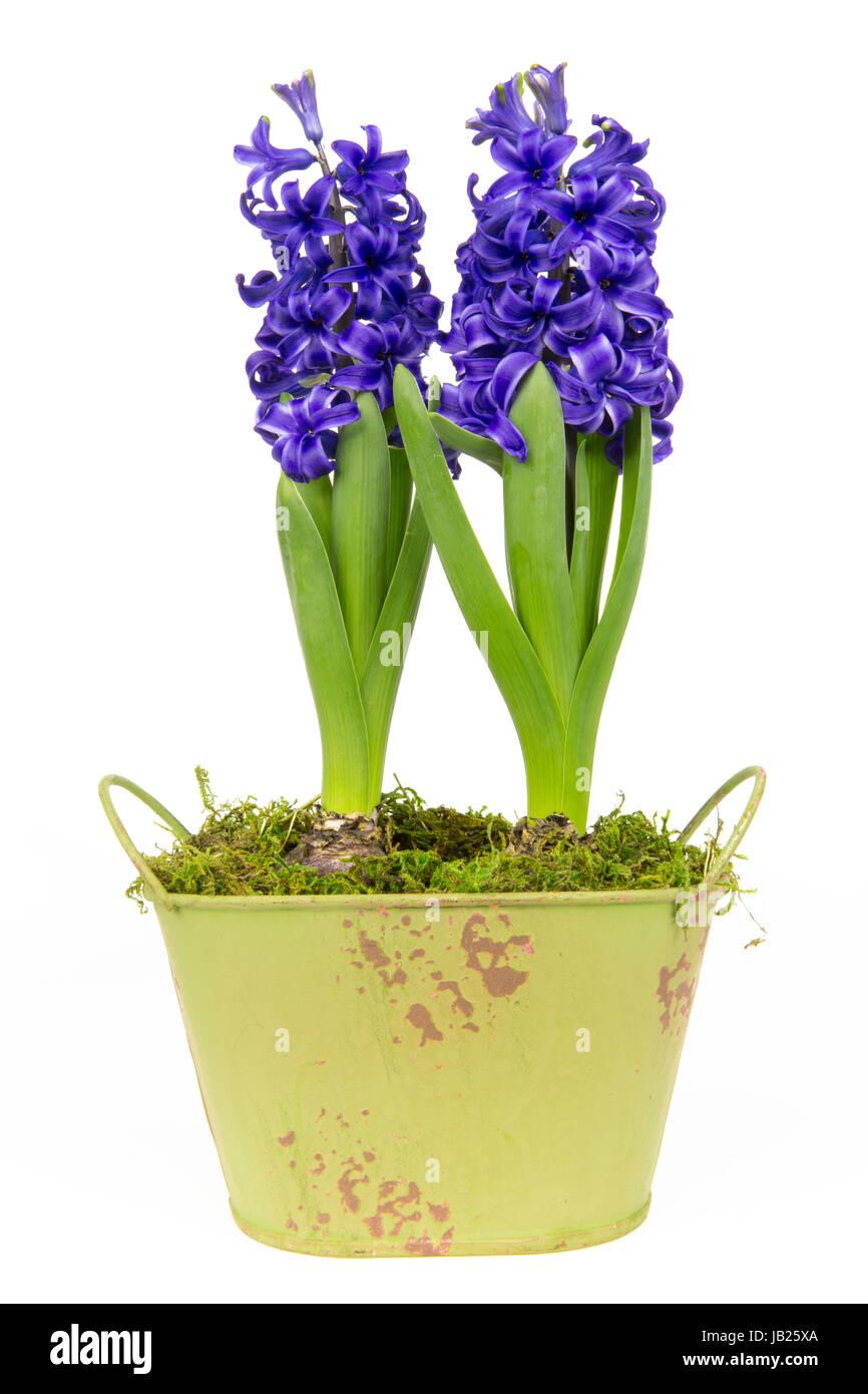 Blühende blaue Hyazinthen im Frühling Stock Photo