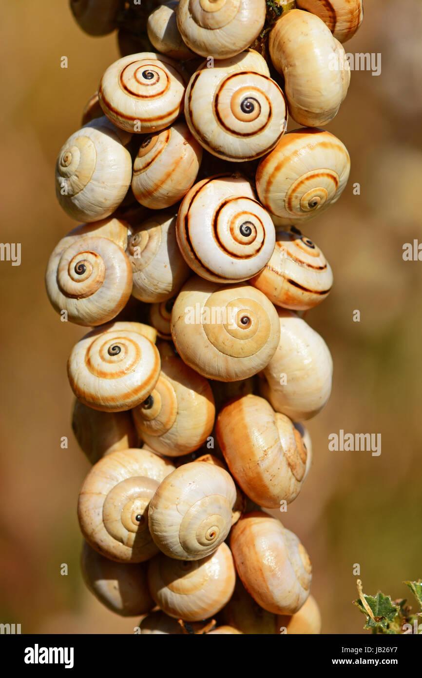 Snails on dry stem in hot summer - Stock Image