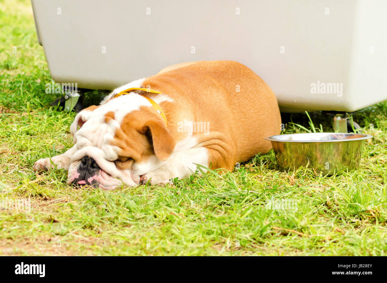 A small, young, beautiful, brown and white English Bulldog lying down on the lawn sleeping looking very peaceful, Stock Photo