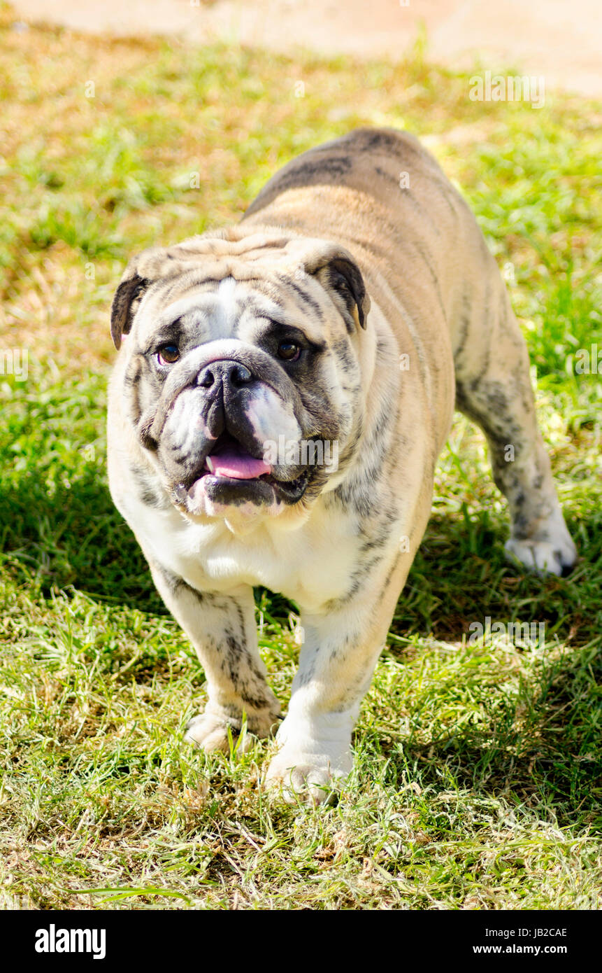 A small, young, beautiful, fawn brindle and white English Bulldog standing on the grass while sticking its tongue Stock Photo