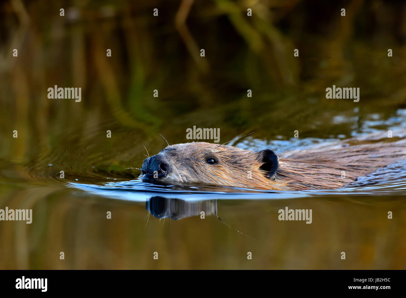 A close up inage of a wild beaver (Castor canadensis) swimming through the calm water of his pond - Stock Image