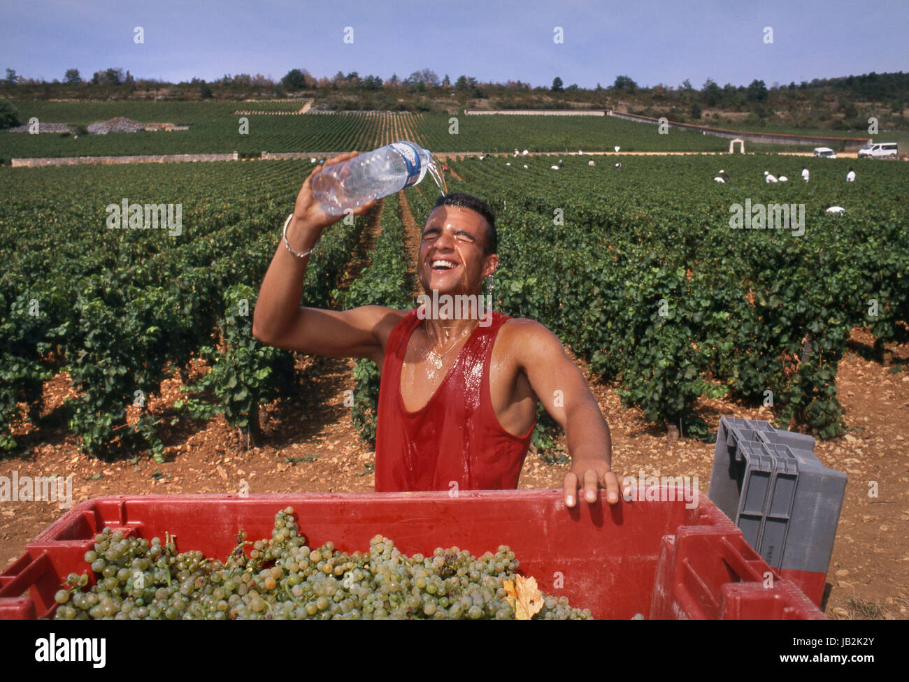 Hot Grape Harvest picker cooling off with bottle of water during heatwave in Marquis de Laguiche parcel of  'Le - Stock Image