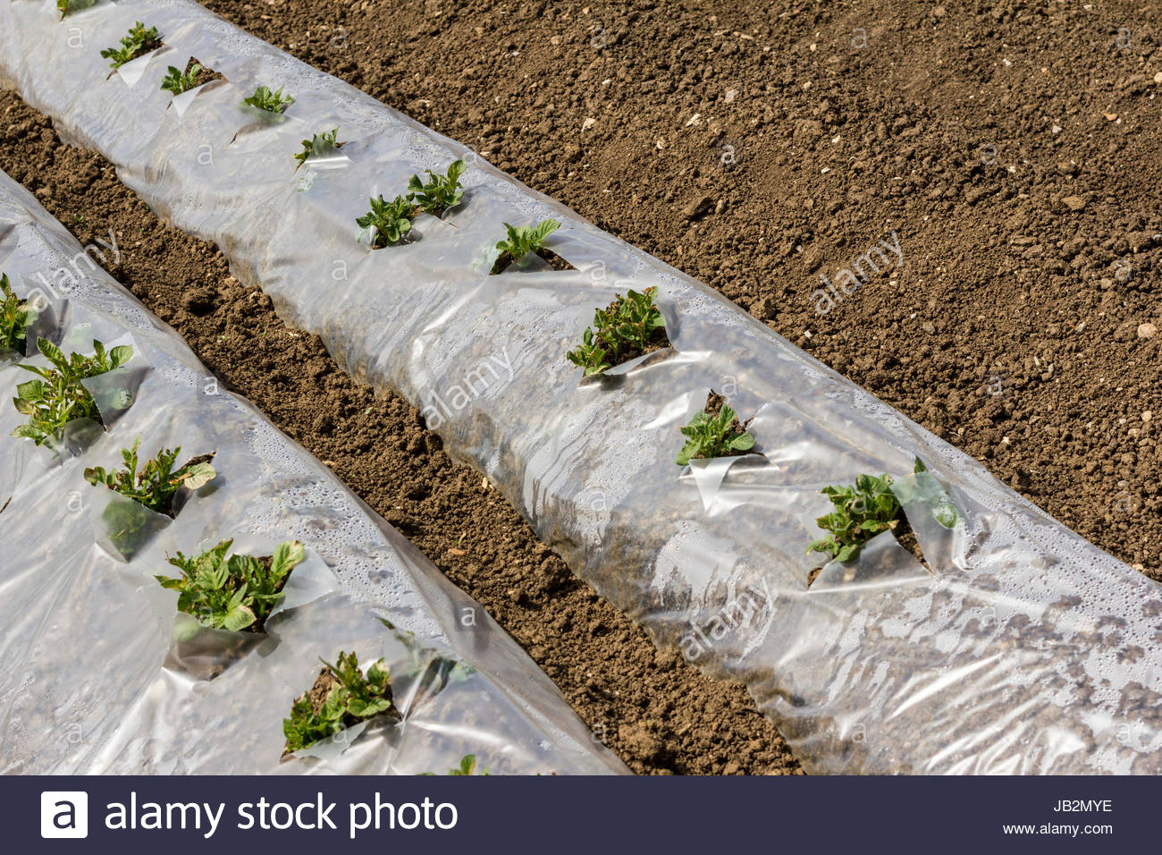 Potato plants being grown through plastic sheeting - Stock Image