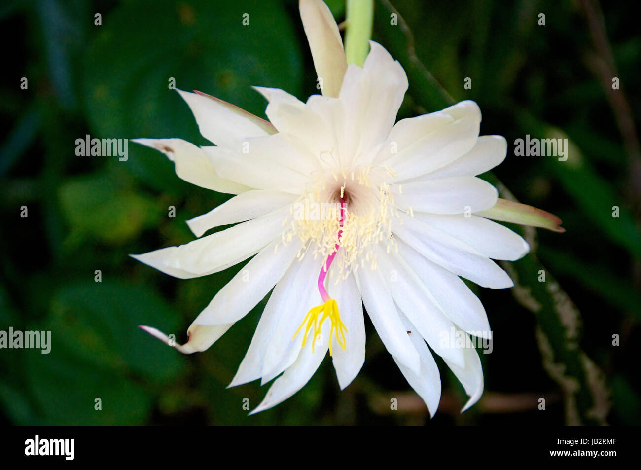 Night blooming cereus cactus in bloom showing large white flower night blooming cereus cactus in bloom showing large white flower mightylinksfo