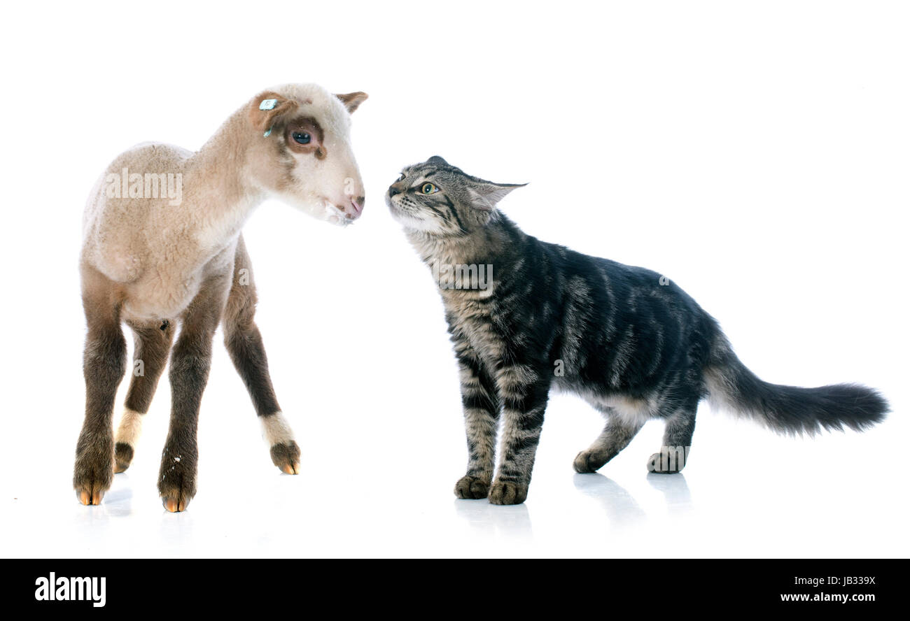 young lamb and kitten in front of white background - Stock Image