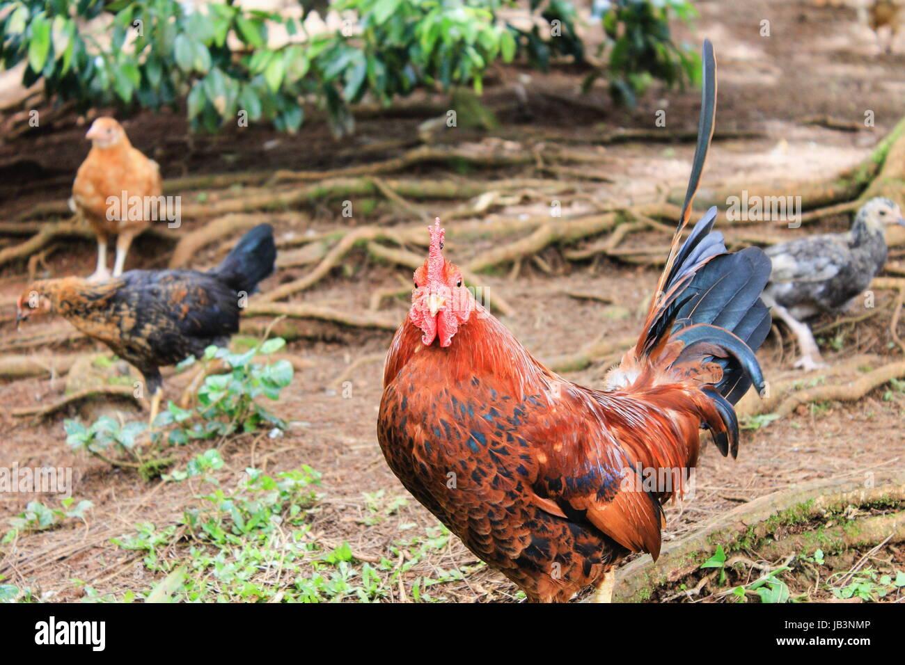 Free Range Chicken - Stock Image