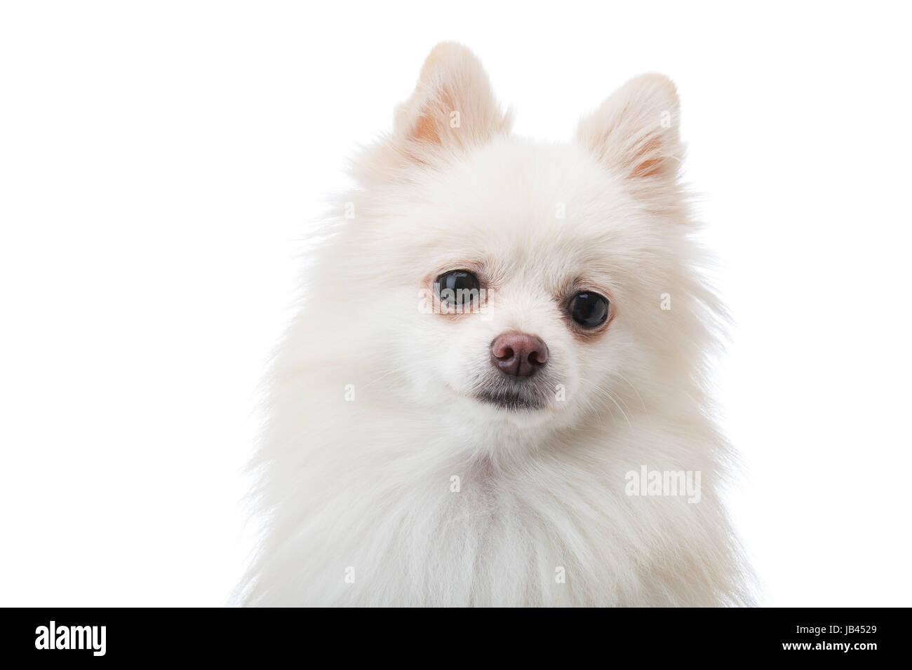 Adorable White Pomeranian Puppy Stock Photo 144535953 Alamy