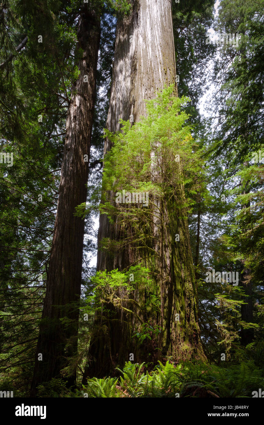 The 31 foot in diameter Boy Scout Tree in Jedediah Smith Redwoods State Park near Crescent City in Northern California. - Stock Image