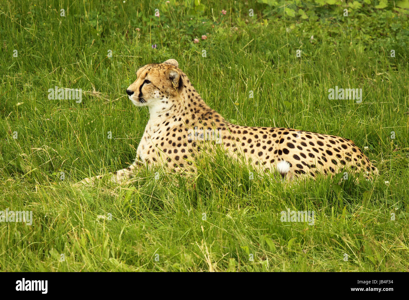 A Cheetah perked up while resting in a grassland. - Stock Image