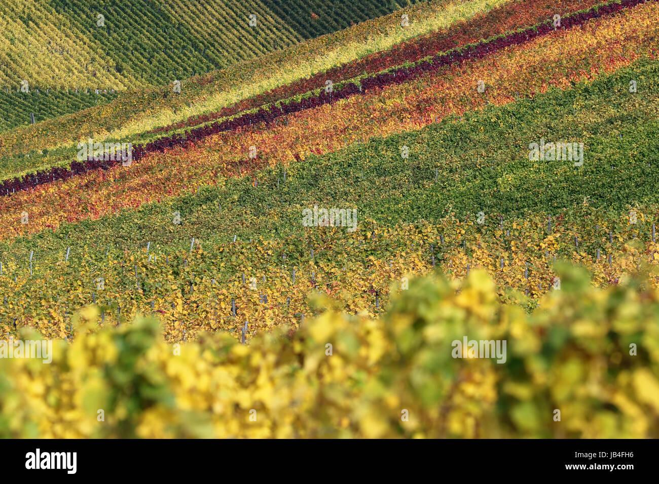 Bunte Felder mit Weinbergen im Herbst während der Weinlese der Weintrauben Stock Photo