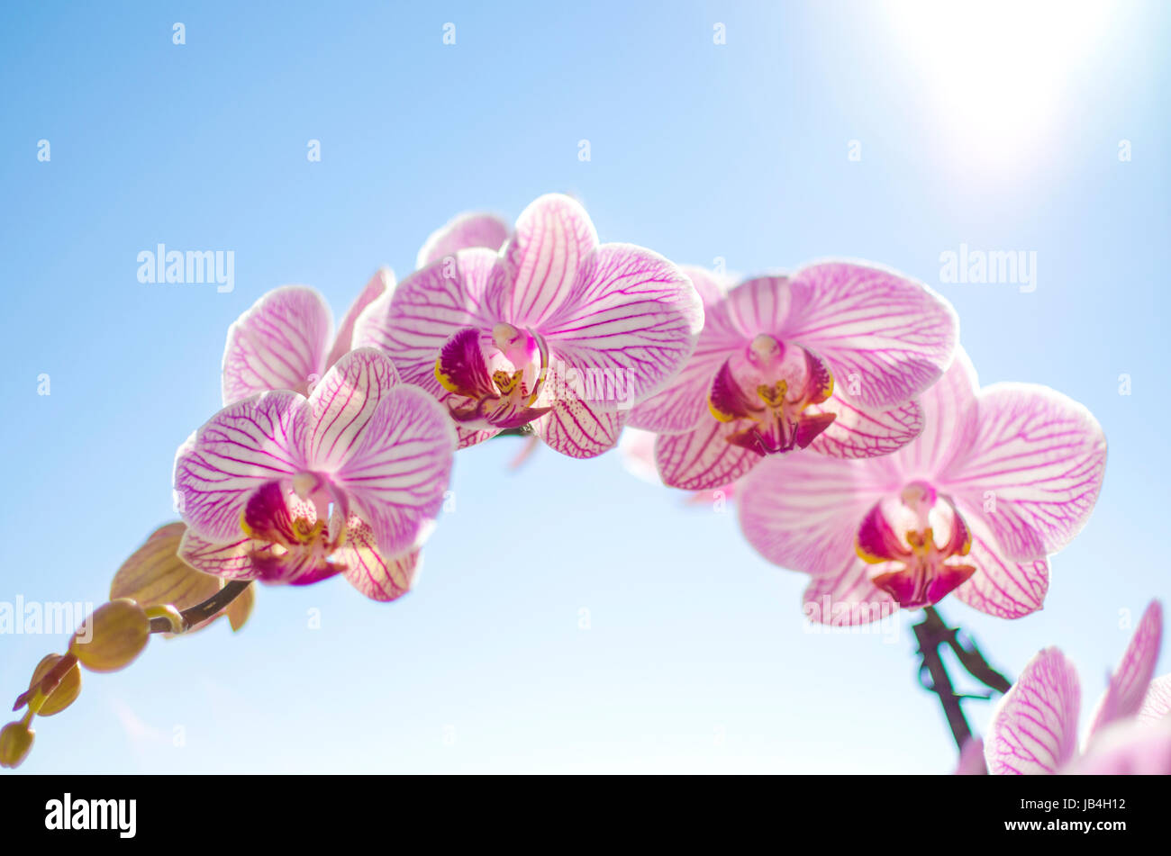 A close up of a branch with blossomed pink striped petals of the beautiful flower orchid, Phalaenopsis. The orchidea - Stock Image