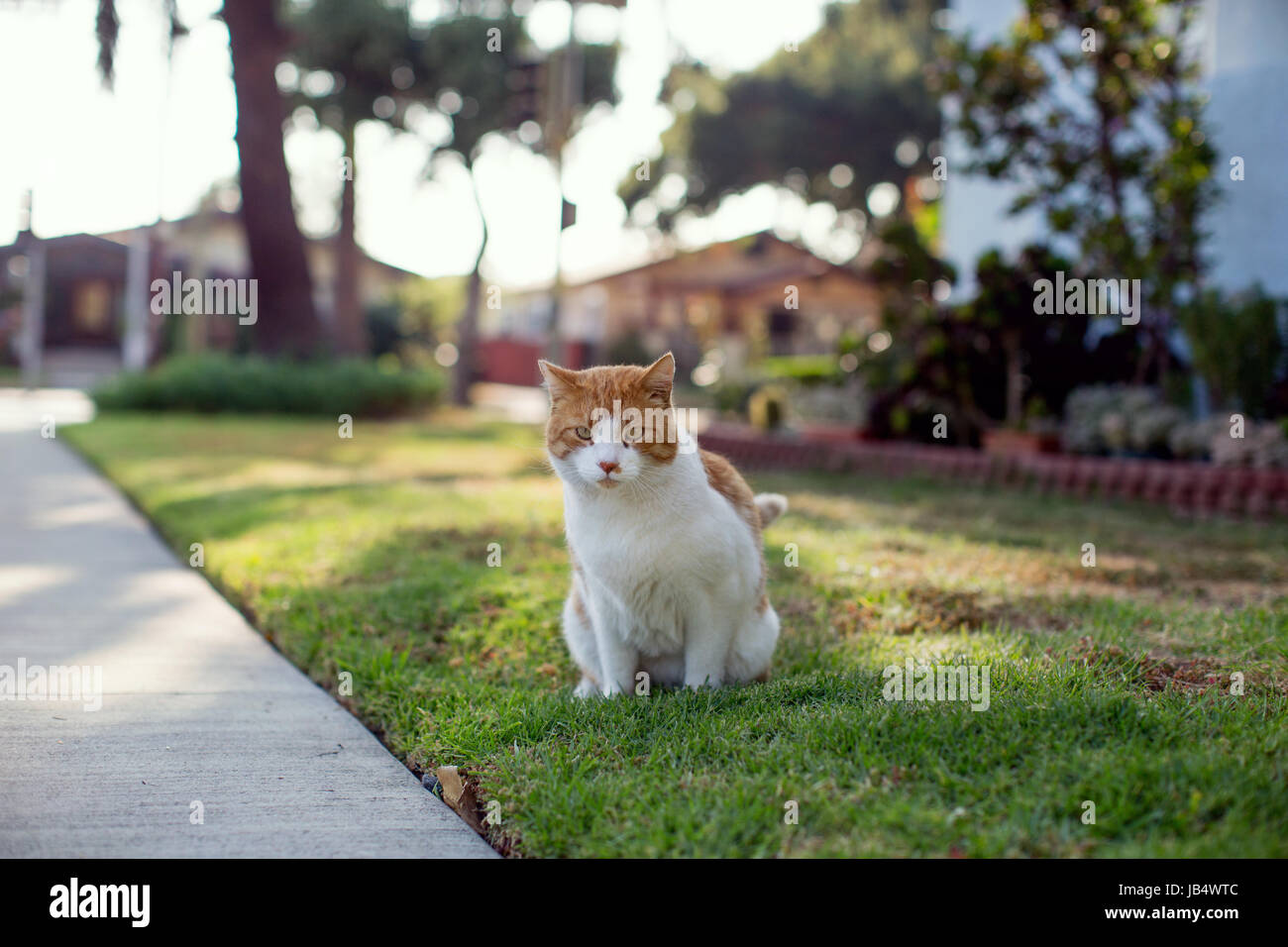 Orange and white tabby cat urinating on a front lawn while looking at camera. Golden light, sunny afternoon. Stock Photo