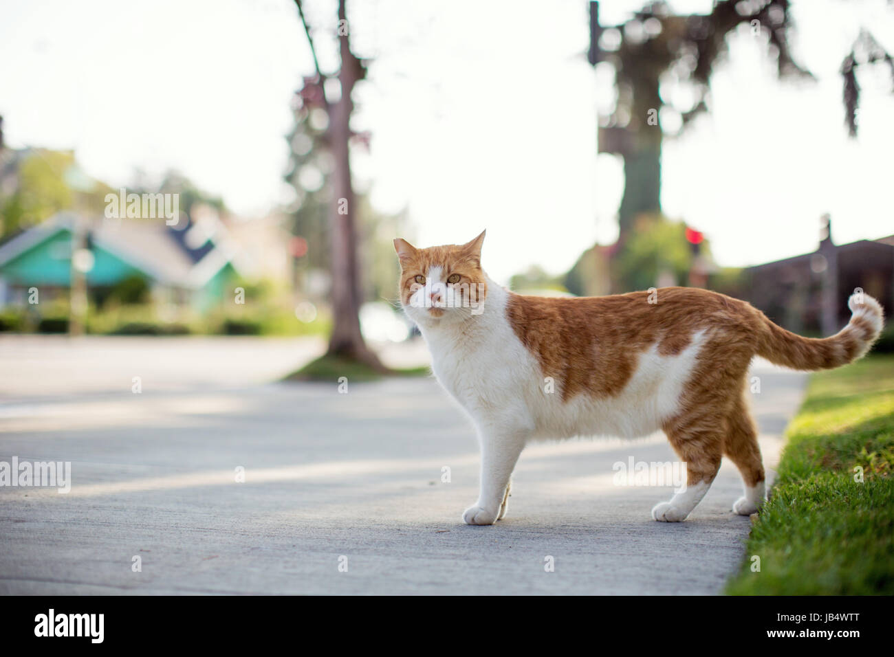 Orange and white tabby cat standing on a sidewalk in a residential ...