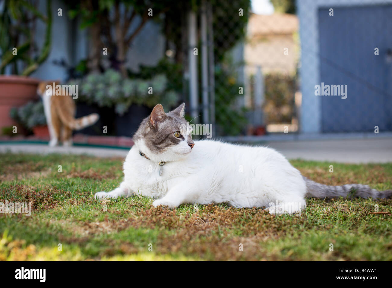 Two cats looking relaxed and content in a front yard / neighborhood setting. Late day, golden light. - Stock Image