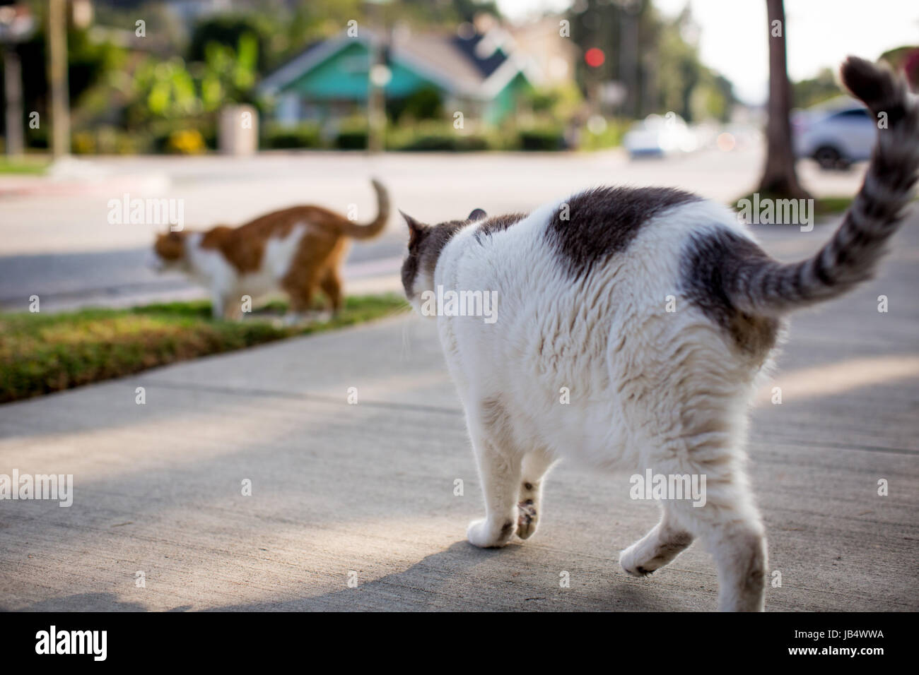Two domestic cats in a residential setting walking toward street, both with their tails up and curved. - Stock Image