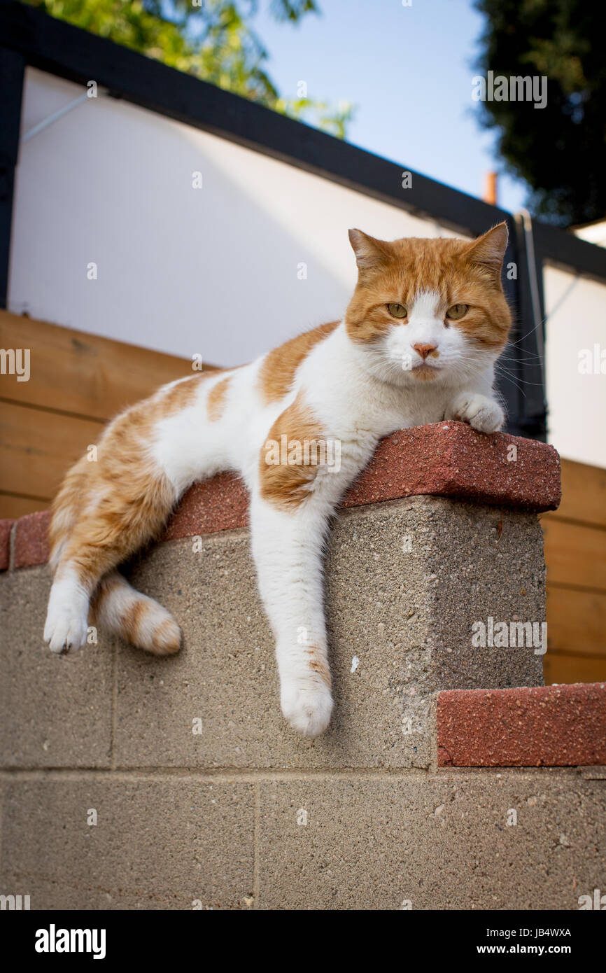 Orange and white cat lounging on a concrete wall looking at camera with leg hanging down. - Stock Image