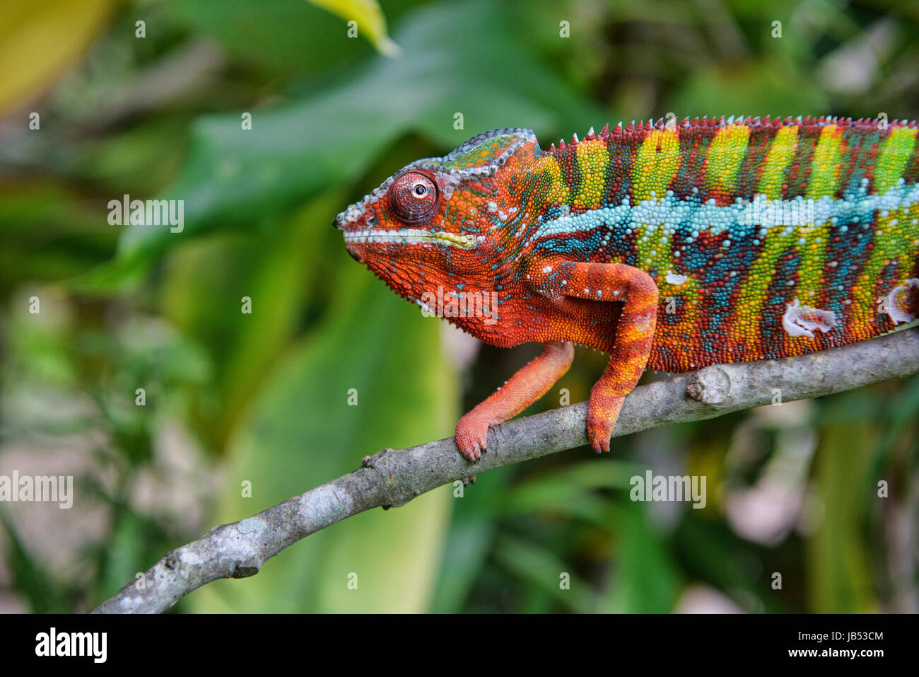 Colourful Panther chameleon (Furcifer pardalis), Andasibe, Madagascar - Stock Image