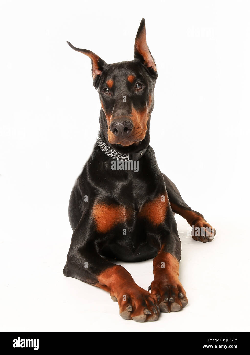 Portrait of purebred dobermann facing the camera. - Stock Image