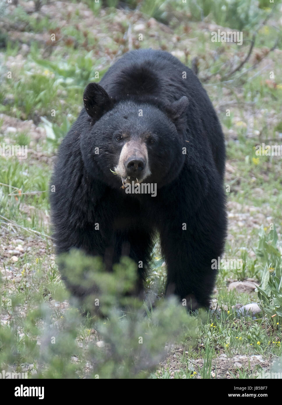 American black bear (Ursus americanus), Grand Teton National Park, Wyoming, USA, North America. - Stock Image