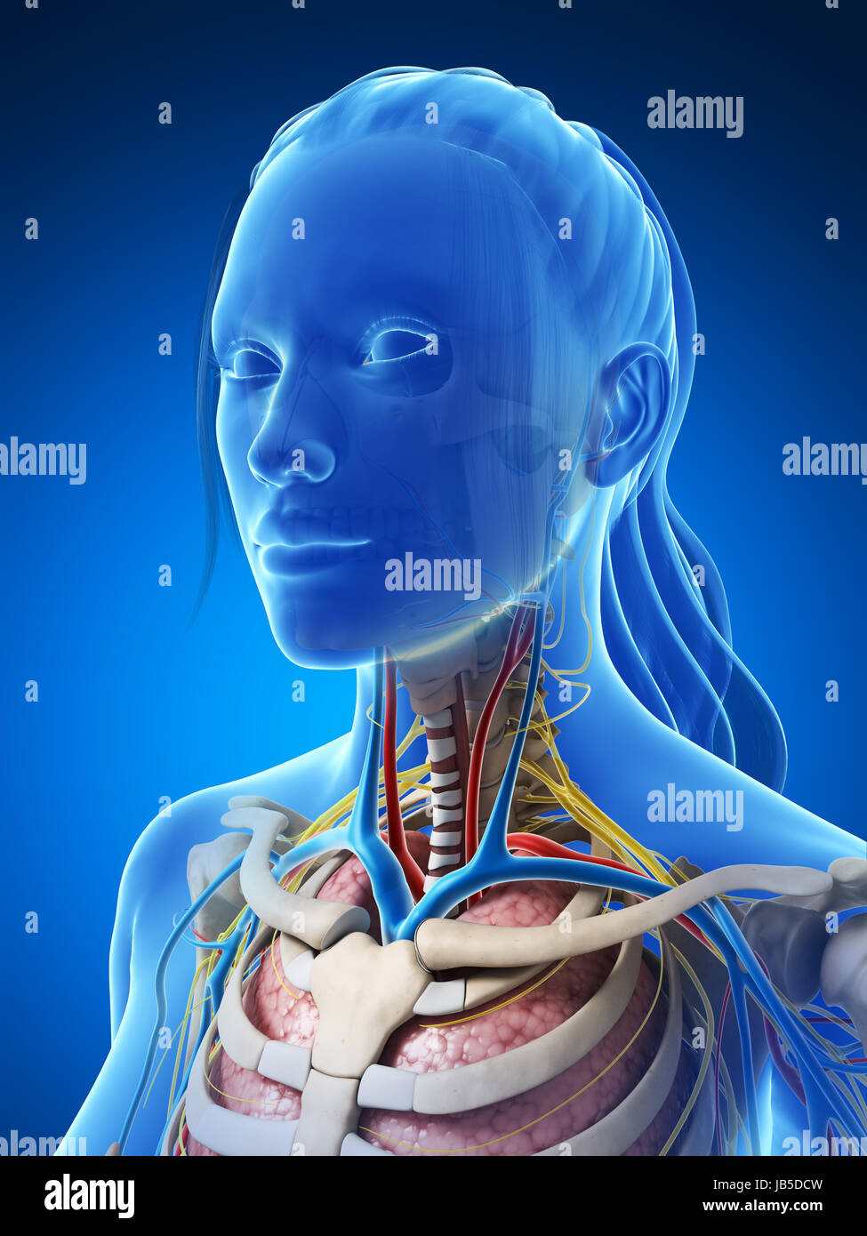 Female Anatomy Diagram High Resolution Stock Photography And Images