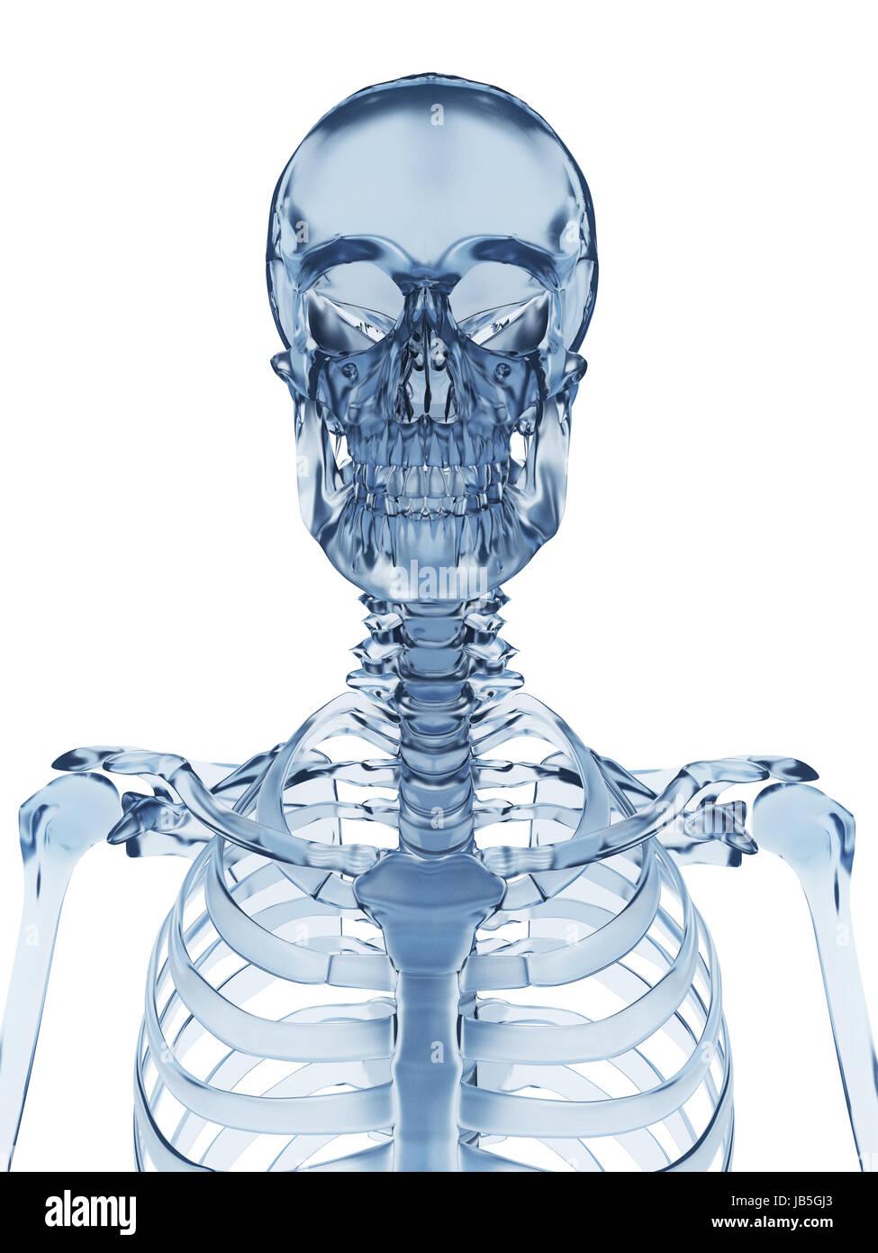 Anatomy Glass Hip Skeleton Man Stock Photos Anatomy Glass Hip