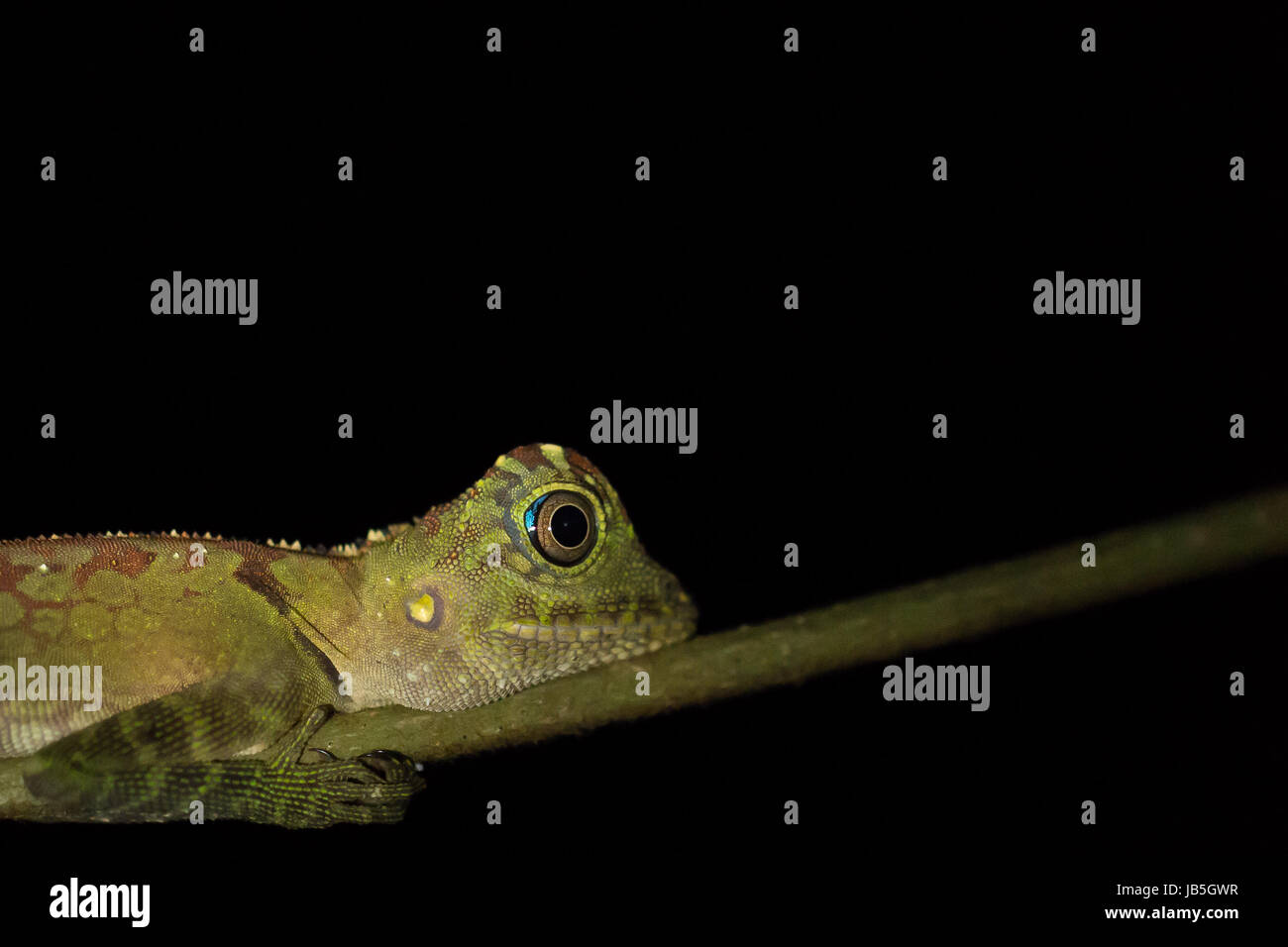 Gecko at night in Ulu Temburong National Park, Temburong District, Brunei - Stock Image