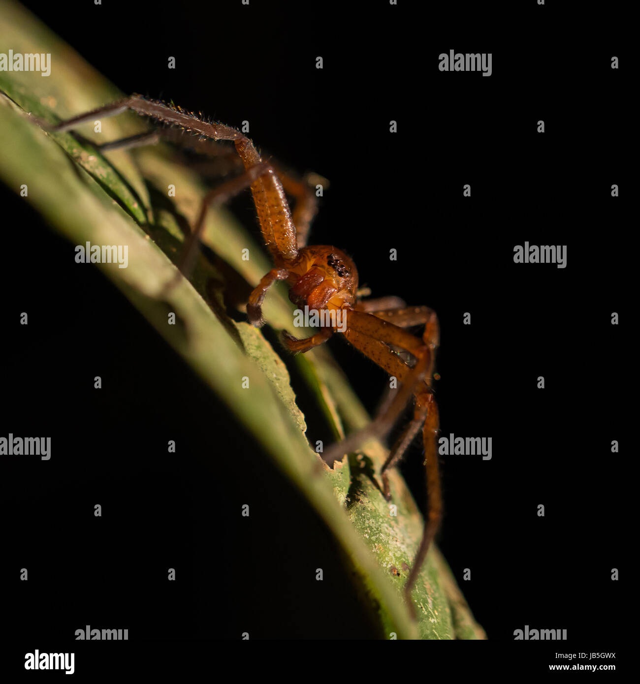 Spider resting on a leaf at night in Ulu Temburong National Park, Temburong District, Brunei - Stock Image