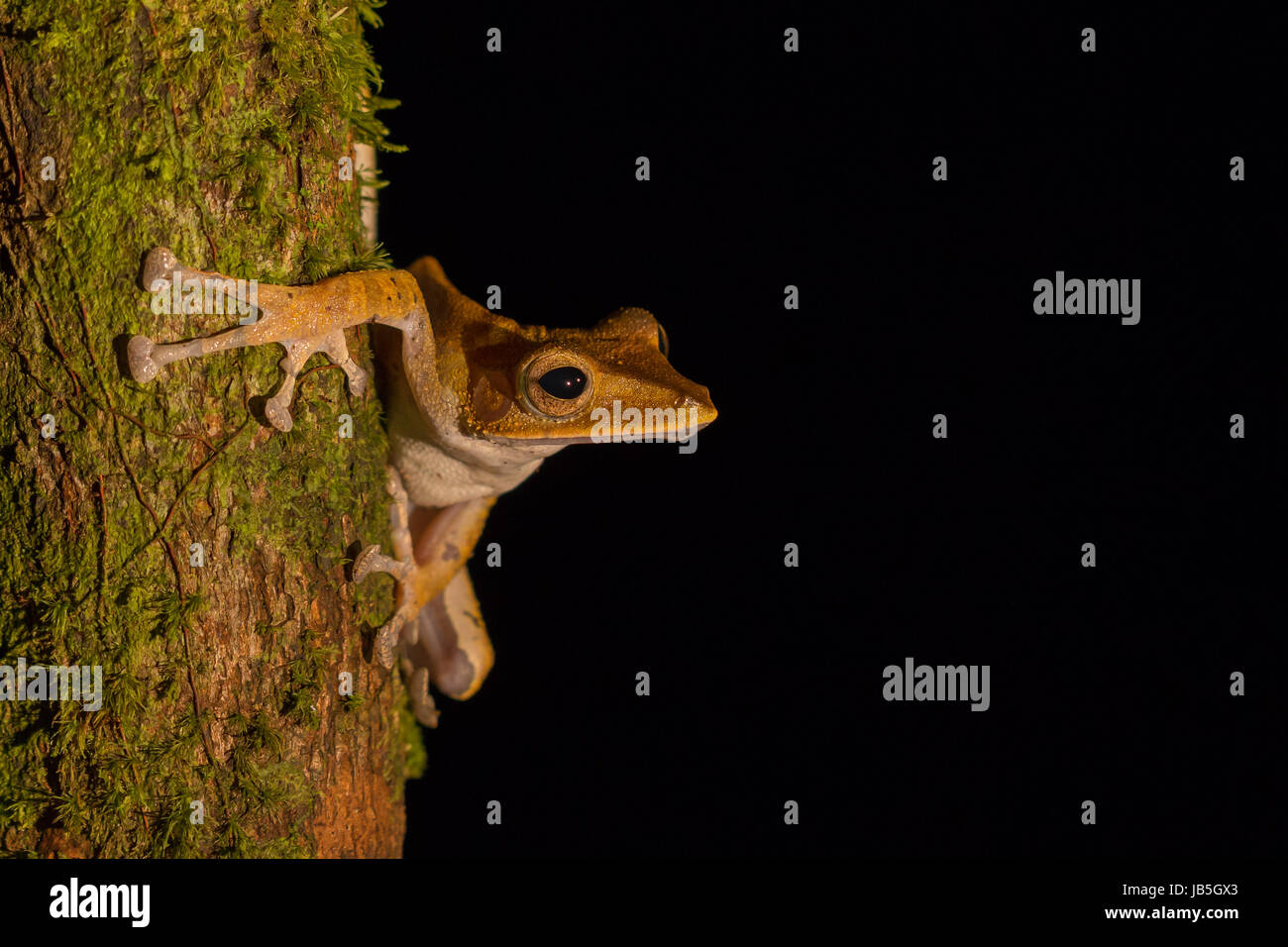 Dark eared tree frog (Polypedates macrotis) looking for food at night in Ulu Temburong National Park, Brunei - Stock Image