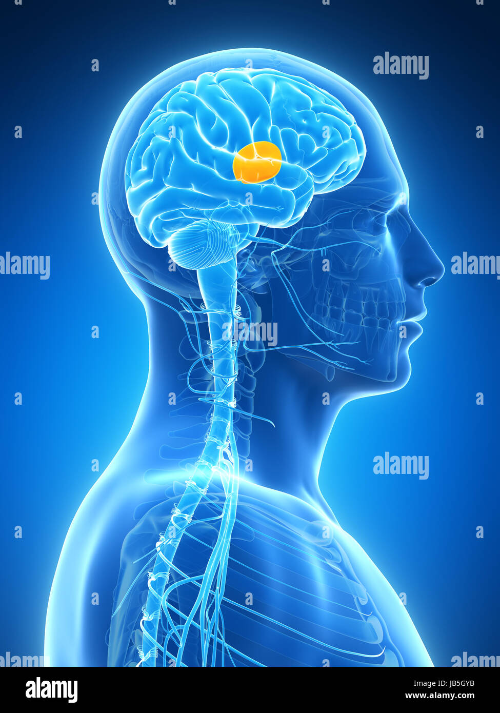 3d rendered illustration - thalamus - Stock Image