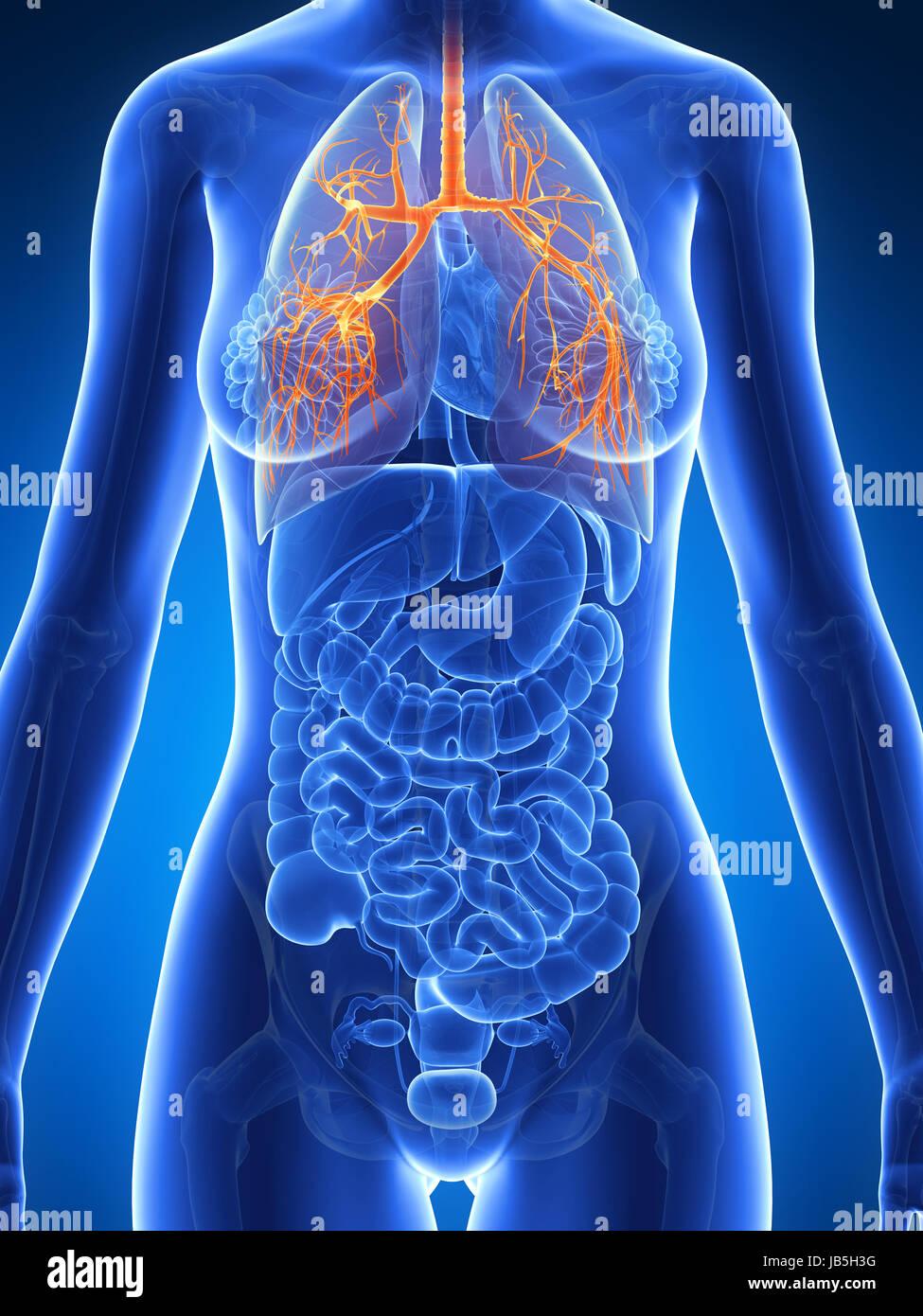 3d rendered illustration of the female anatomy - bronchi Stock Photo ...