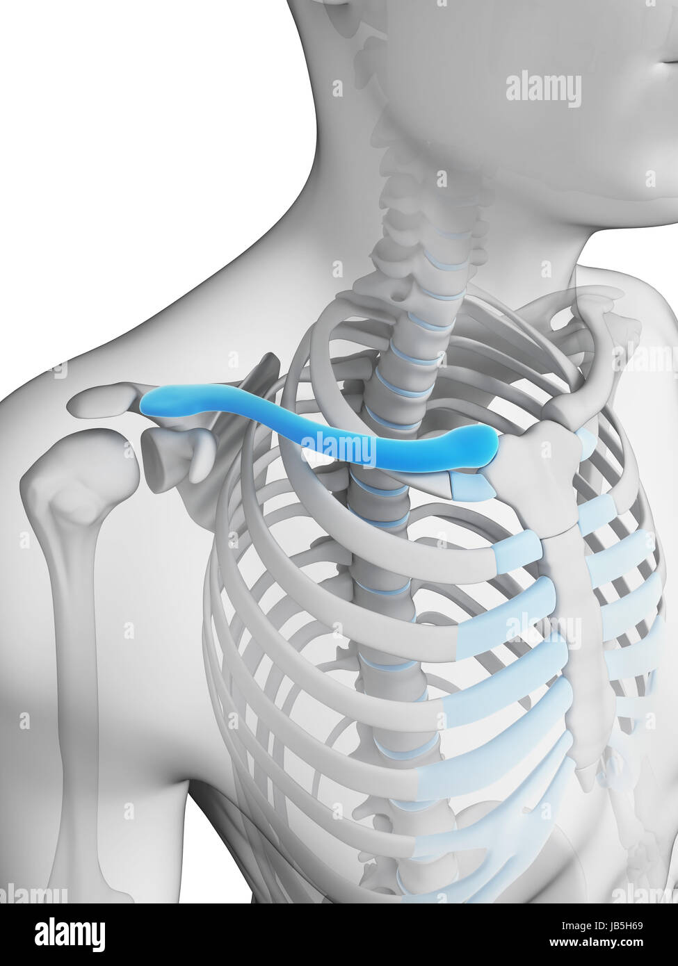 Clavicle Stock Photos Clavicle Stock Images Alamy