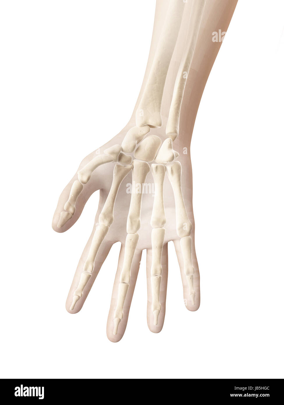 Wrist Bones Stock Photos Wrist Bones Stock Images Page 3 Alamy