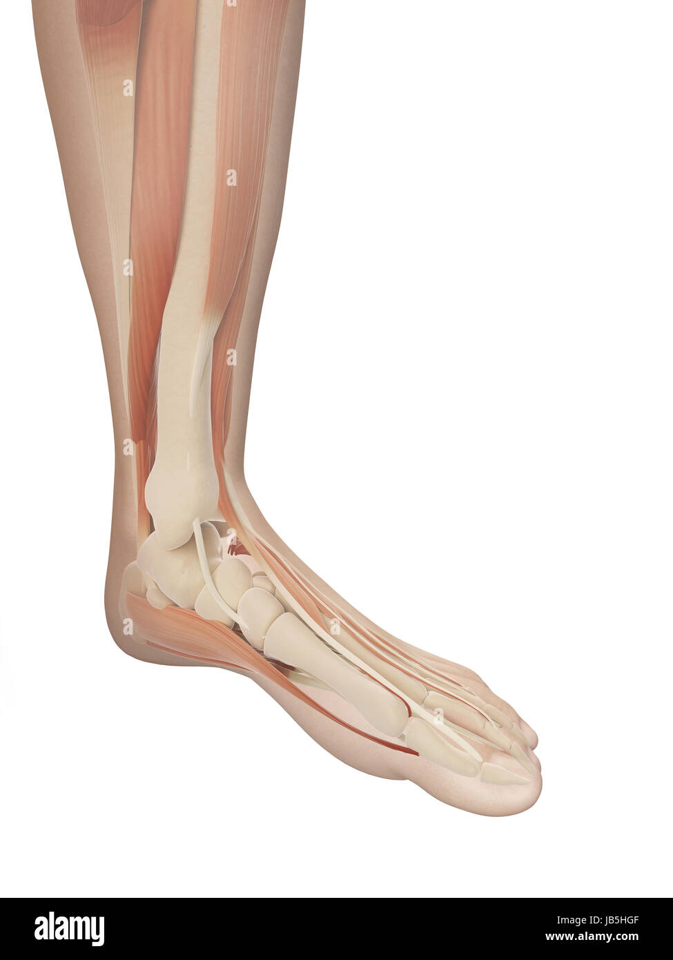 muscular foot anatomy Stock Photo: 144567711 - Alamy