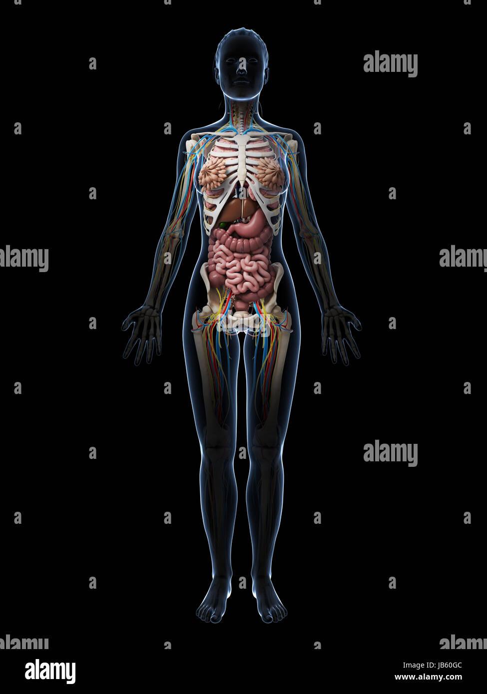 Uterus Diagram Stock Photos  U0026 Uterus Diagram Stock Images