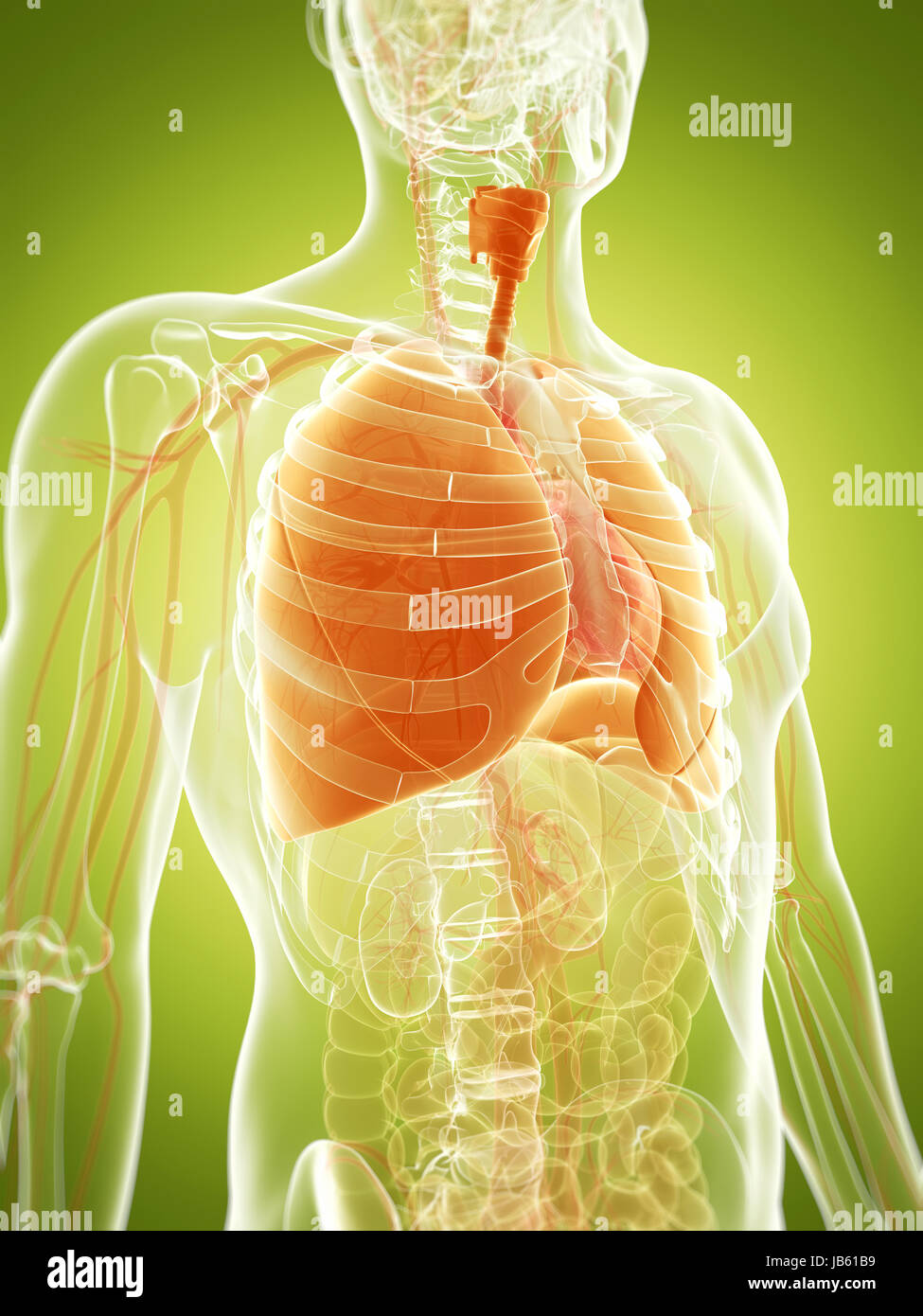 3d rendered illustration of the human lung - Stock Image