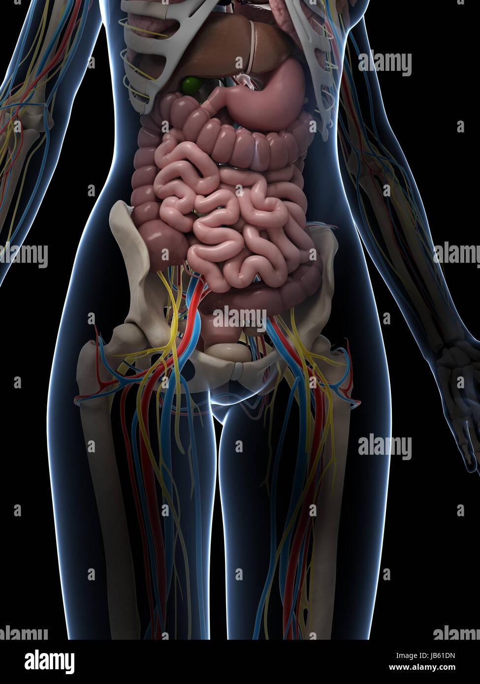 Female Anatomy Diagram Stock Photos  U0026 Female Anatomy