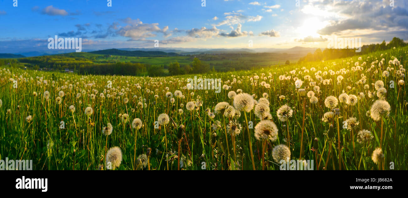 Dandelions on spring meadow at sunset - Stock Image