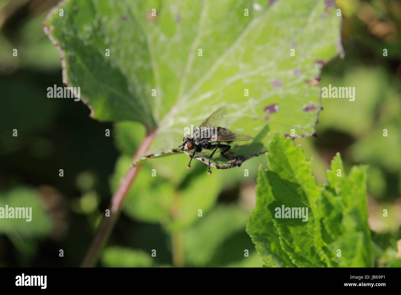 A small black striped fly that sits on a leaf in nature - Stock Image