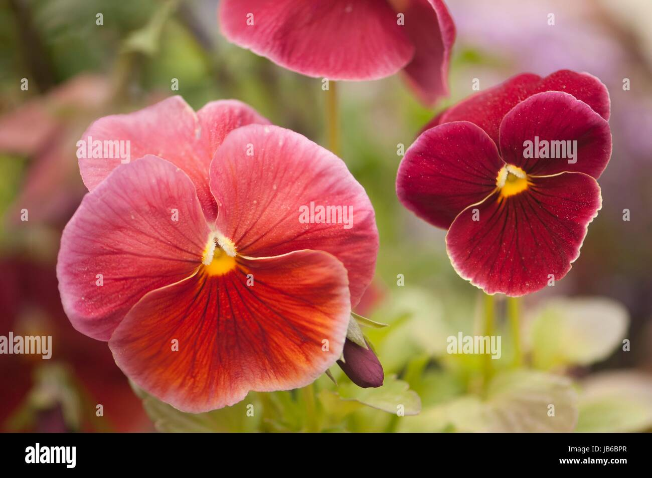 Red pansy (Viola x wittrockiana) flowers. - Stock Image