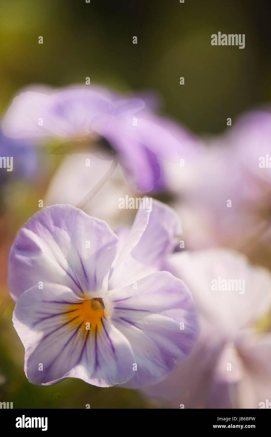 Light lavender blue pansy (Viola x wittrockiana) flower. - Stock Image