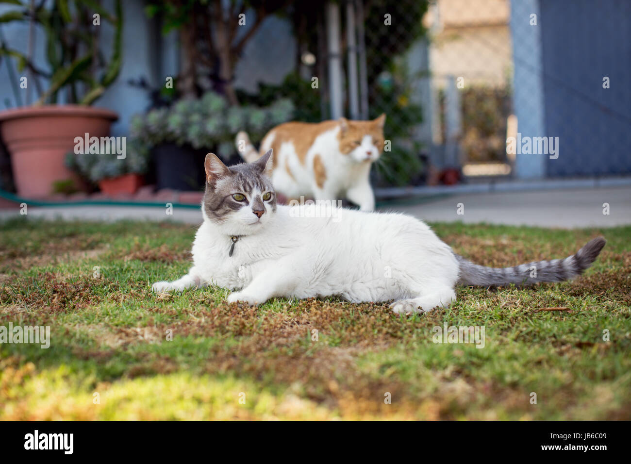 White cat lounging on grass lawn in front yard while an orange cat saunters past in the background. - Stock Image