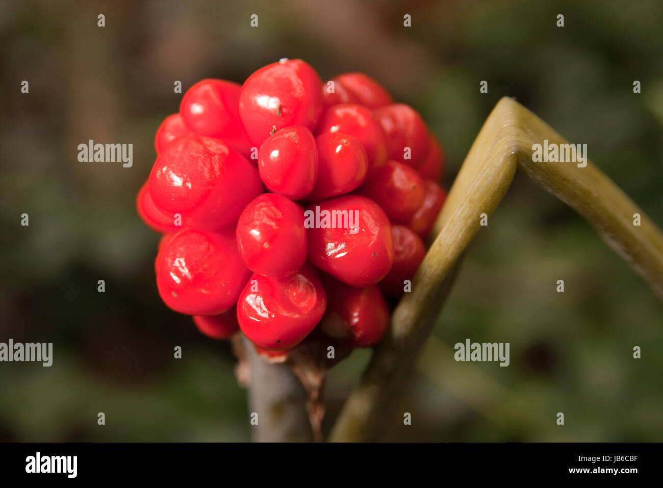 Arum maculatum red berries isolated on a blurry background. - Stock Image