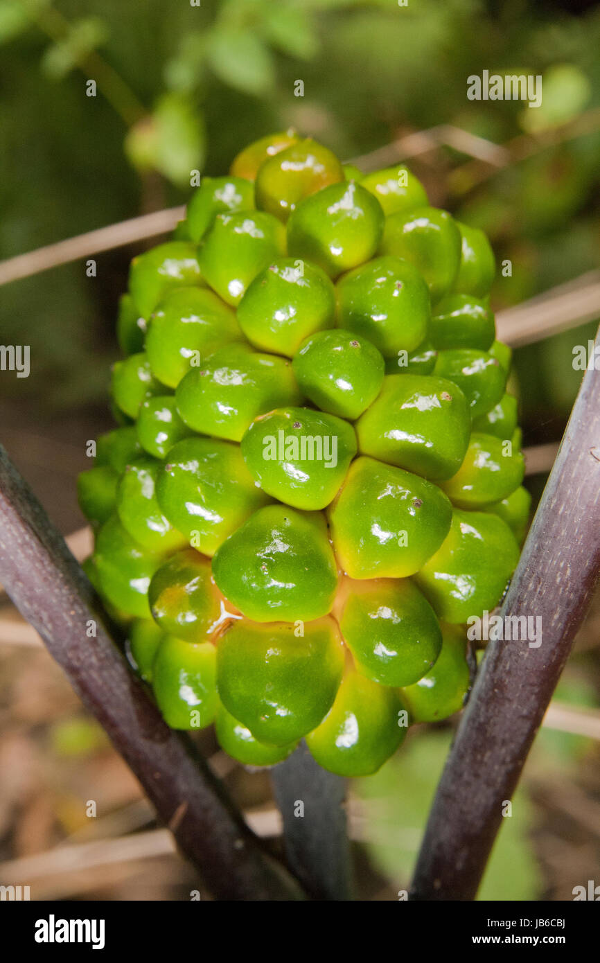 Arum maculatum green berries isolated on a blurry background. - Stock Image